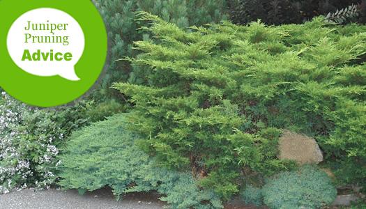 How To Prune Junipers, Pines, Cedars