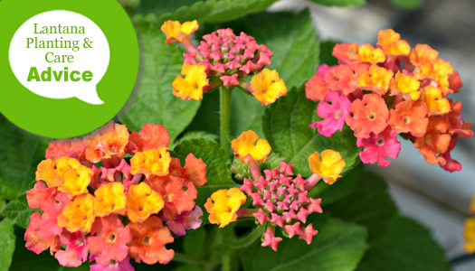 How To Plant Prune Fertilize Water Hardy Lantana Plants Wilson