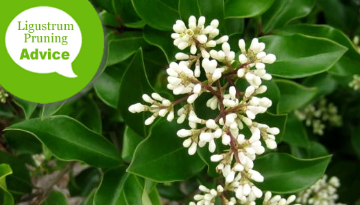 When And How To Prune Ligustrum And Privet Plants