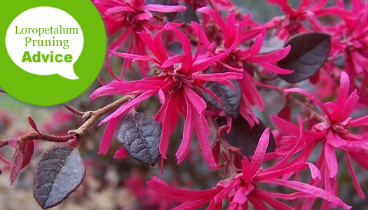 How To Prune And Trim A Loropetalum Shrub or Tree