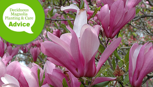 How To Plant Care For A Tulip Or Star Magnolia