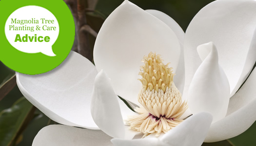 How To Plant, Prune, Fertilize & Water A Southern Magnolia Tree