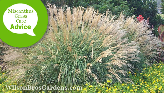How To Fertilize And Water Miscanthus Maiden Grasses