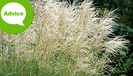 How To Plant Miscanthus Maiden Grasses
