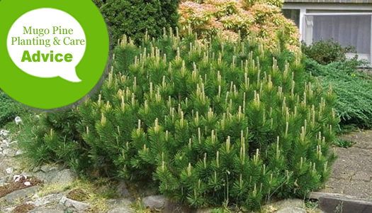 How To Plant, Prune, Fertilize, Water And Care For Mugo Pines