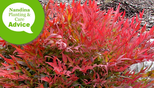 How To Plant, Fertilize, Prune & Water Nandina Plants