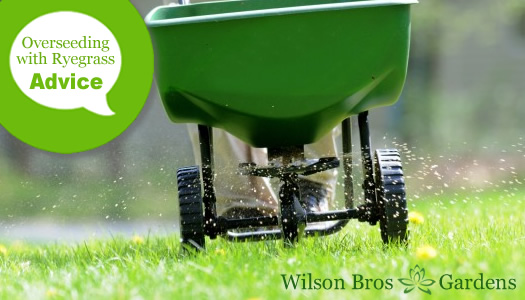 How To Overseed A Bermuda Lawn With Winter Ryegrass
