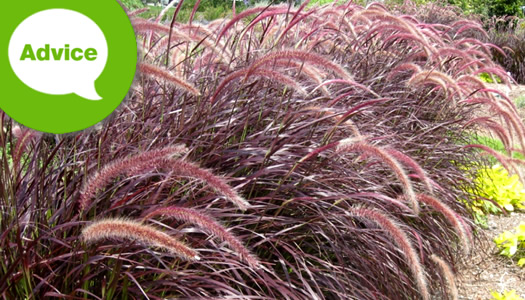 How To Plant Pennisetum Fountain Grasses