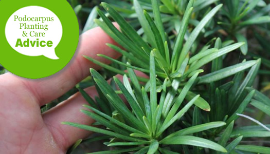 How To Plant, Prune, Fertilize, Water & Care For Podocarpus Yew Plants