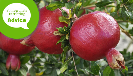 How To Fertilize & Water A Pomegranate Bush Or Tree -from The