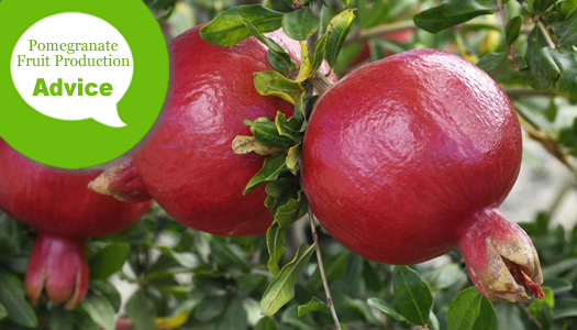 How To Make A Pomegranate Plant Or Tree Produce Fruit