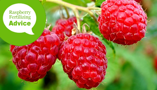How To Fertilize And Water Raspberry Bushes