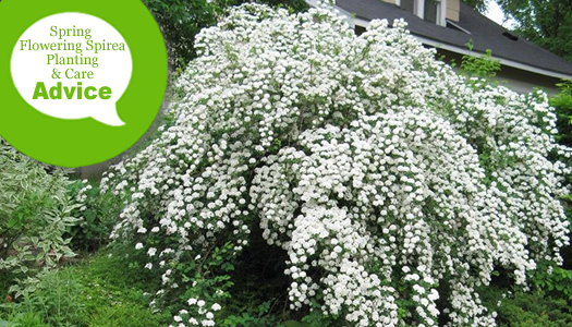 How To Plant, Prune, Fertilize And Care For Spring Flowering Bridal Wreath Spirea