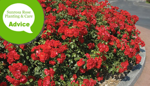 How To Plant, Fertilize, Prune And Water Sunrosa Roses