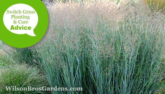 How To Plant, Prune, Fertilize, Water And Care For Panicum Switch Grasses