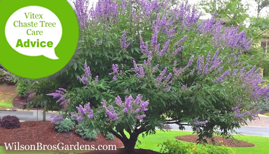 How To Fertilize, Prune And Water A Vitex Chaste Tree