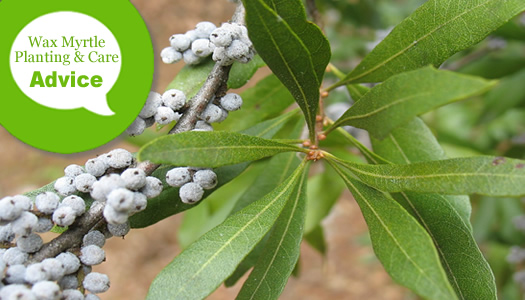 How To Plant, Prune, Fertilize, Water And Care For Wax Myrtle Shrubs & Trees