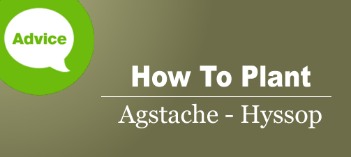How To Plant Agastache Hyssop