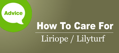 How To Fertilize Prune Water Care For Liriope Lilyturf From The