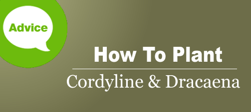 How To Plant And Care For Cordyline Or Dracaena Plants