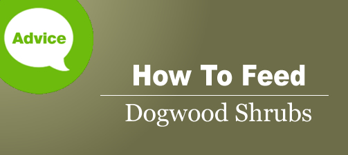 How To Fertilize And Water A Dogwood Shrub