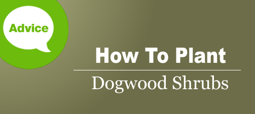 How To Plant A Dogwood Shrub