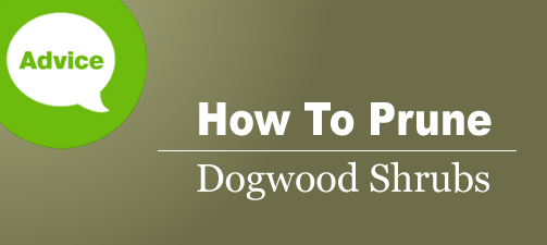 How To Prune Or Cut Back A Dogwood Shrub