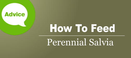 When And How To Fertilize Perennial Salvia And Sage Plants