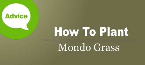 How To Plant And Grow Mondo Grass