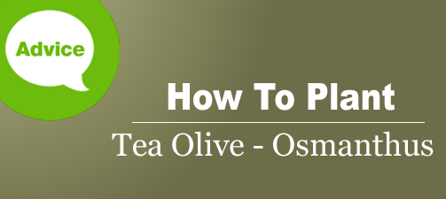 How To Plant a Tea Olive Osmanthus