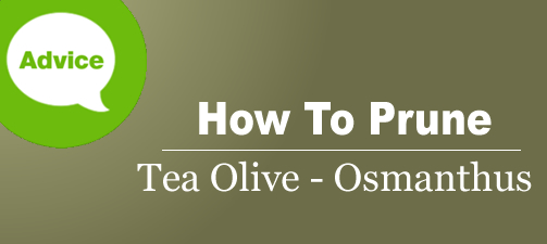 How To Prune A Tea Olive Osmanthus Shrub or Tree