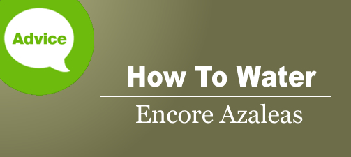 How To Water Encore Azaleas