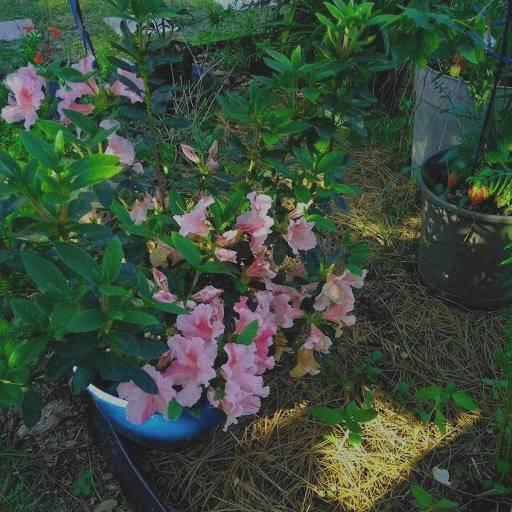 Why Are Autumn Twist Encore Azaleas Blooming Pink Instead Of White