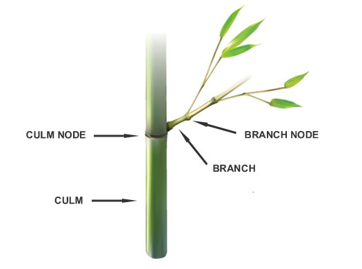 How To Prune Bamboo Plants from the Experts at Wilson Bros