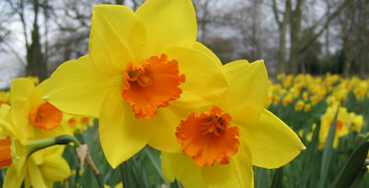 How To Plant and Grow Spring Flower Bulbs