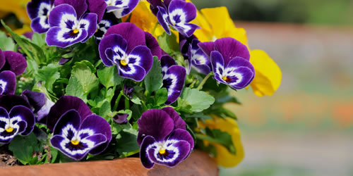 How To Plant Pansies in Containers or Pots