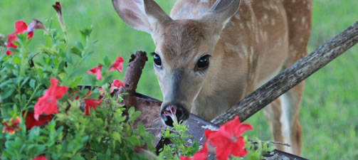 The Most Deer Resistant Plants For The Southern United States