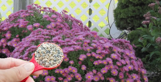 How To Fertilize and Water Garden Mum Chrysanthemums