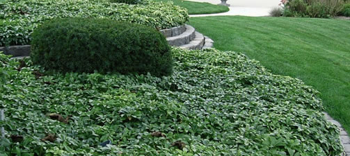 How To Fertilize and Water Groundcover Plants