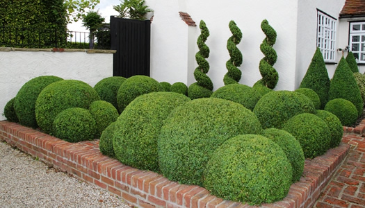 How To Plant Prune Fertilize Water Japanese Holly Shrubs Wilson Bros Gardens