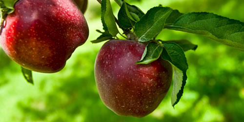 How To Prune an Apple or Pear Tree