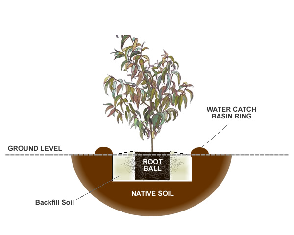 How To Plant A Plum Fruit Tree From The Experts At Wilson