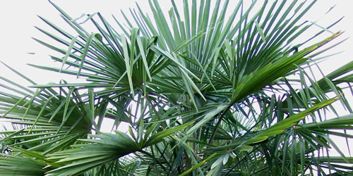 When And How To Prune A Palm Tree