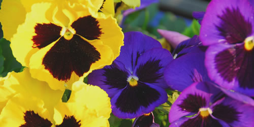 How To Plant And Grow Pansies In Flower Beds From The Experts At Wilson Bros Gardens