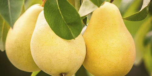 How To Plant a Pear Tree