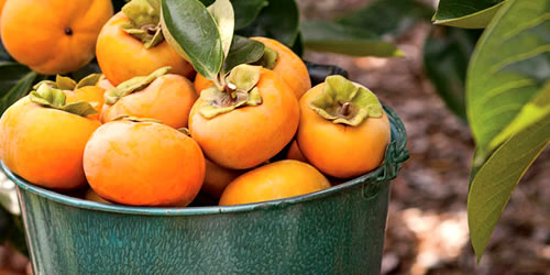 When And How To Prune A Persimmon Tree