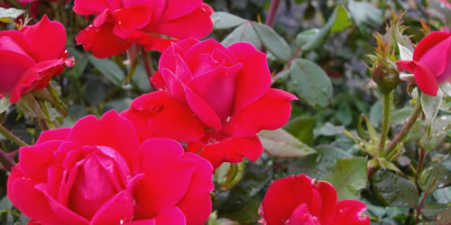 How To Plant a Shrub Rose in the Ground or a Pot or Other Container