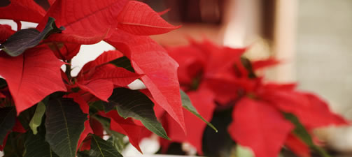 How To Grow and Care For a Poinsettia Plant