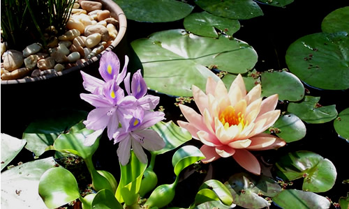 How To Plant Aquatic Plants in a Garden Pond