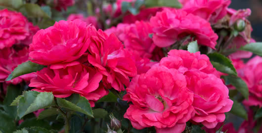 How To Prune a Drift Rose